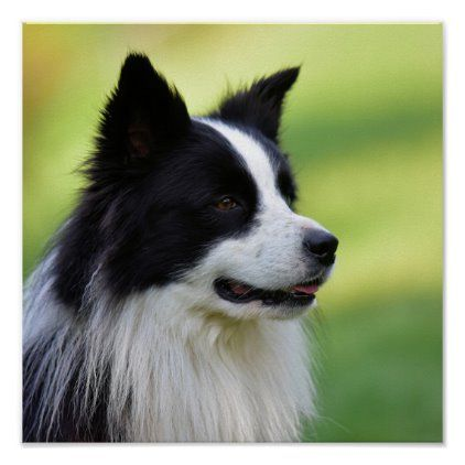 Black and White Border Collie Dog Poster   Zazzle.com in ...