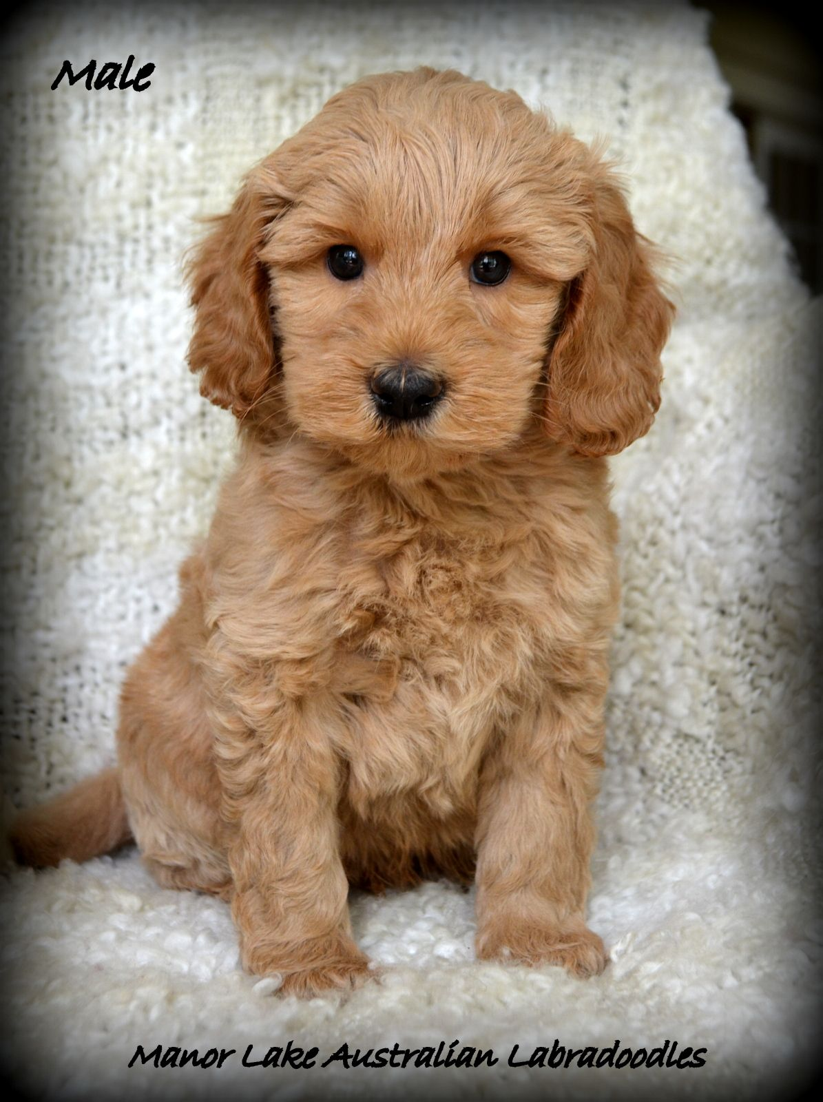 Available Austrailian Labradoodle Puppies Manor Lake Australian Labradoodles Labradoodle Puppy Labradoodle Puppies