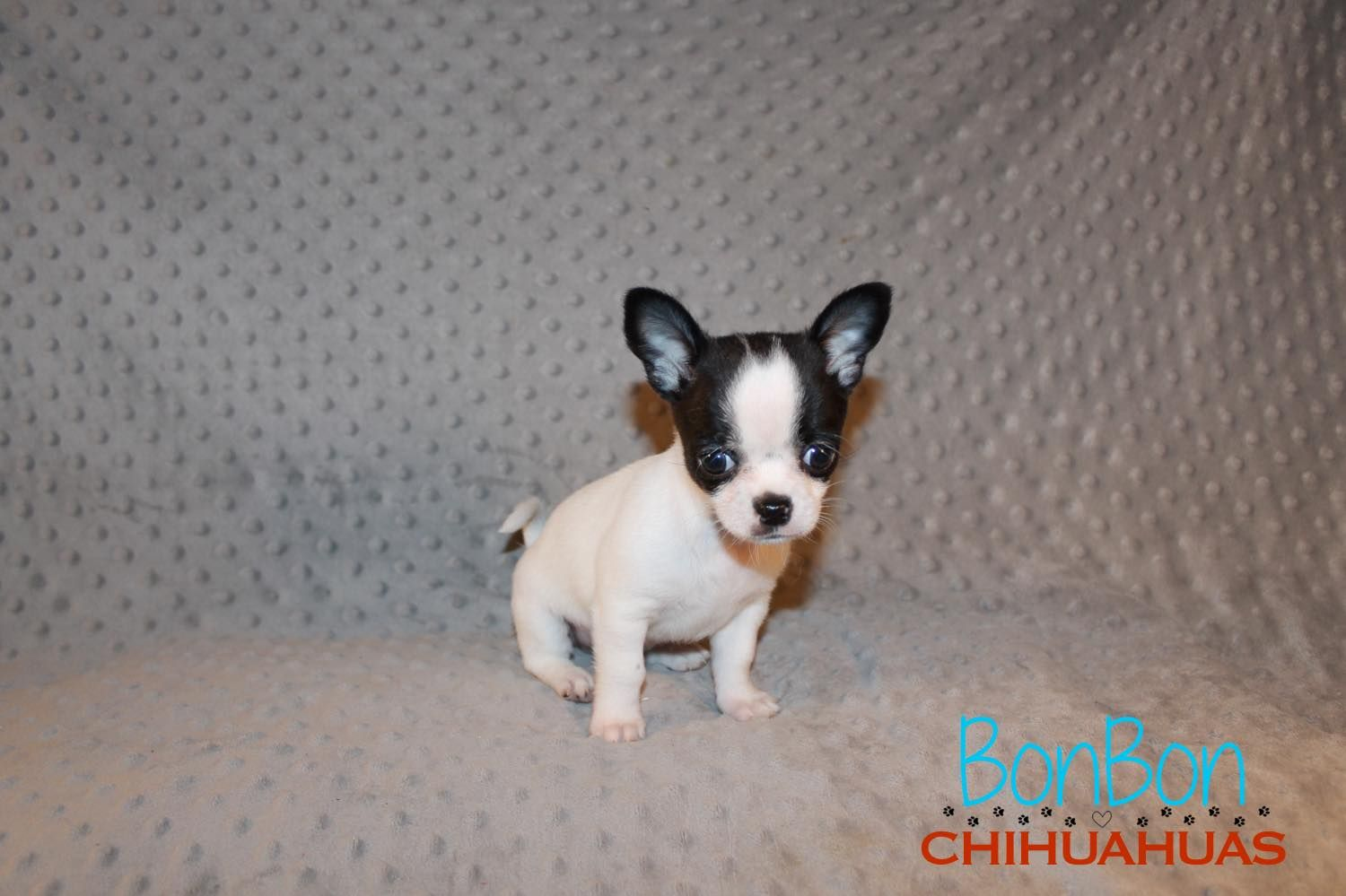 Chihuahua Puppies For Sale Dogs Chihuahua Puppies For Sale