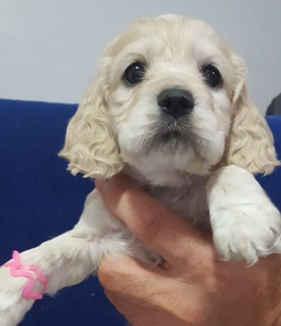 Cavapoo A0808 8female L85 Cavapoo Puppies Dog Breeder Puppies For Sale
