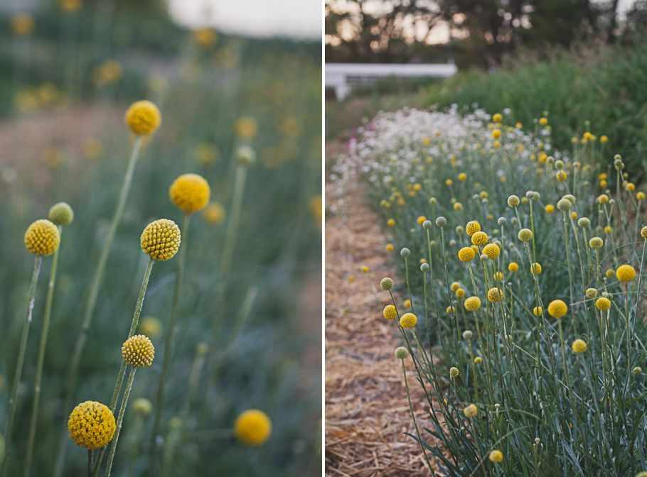 Image Result For How To Grow Craspedia Flowers Craspedia Plants Plant Life