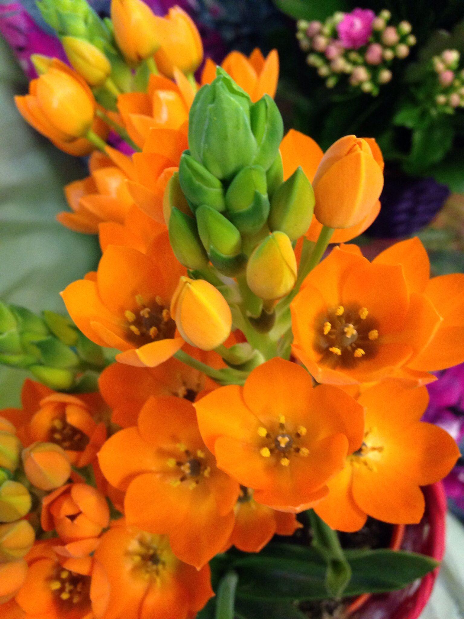 Piante Da Appartamento Ornitogallo.Ornitogallo Arancione Stilettate Fiori Arancione E Giardino