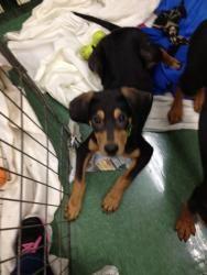 Adopt Kringle On Dogs Kids Hound Breeds Shepherd Mix Dog