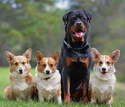 Rottweiler With Dogs Phoenix Dog Training Corgi Pembroke Welsh
