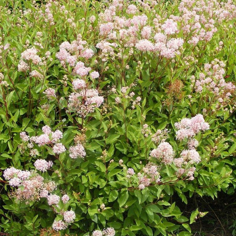 Ceanothus pallidus 'Perle Rose' H1m à 1,5 m, L 60CM à 1M, fleurs été