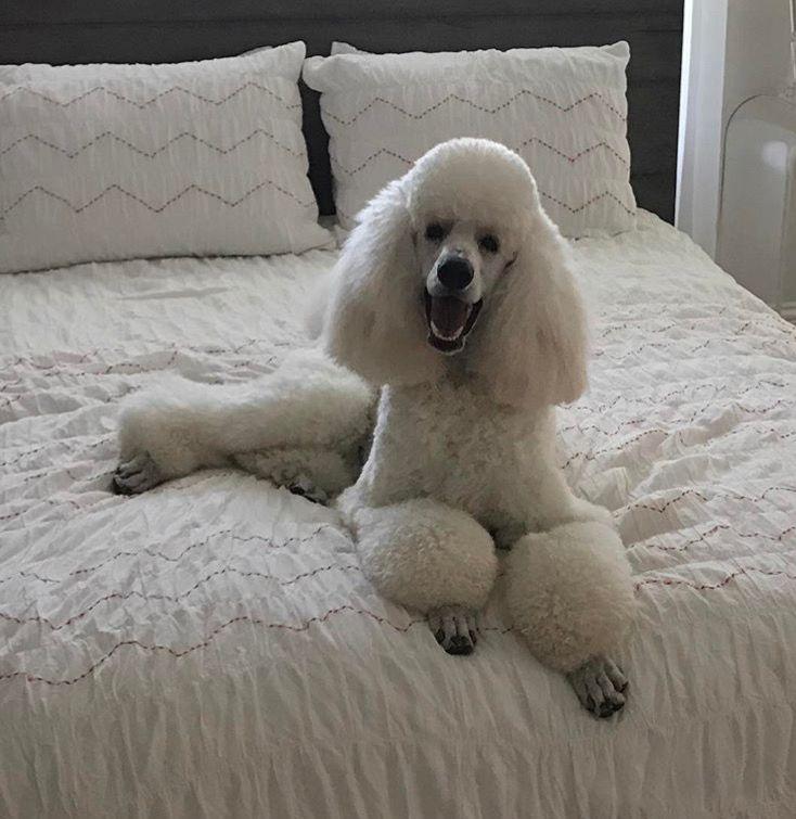 #poodle #poodles #standardpoodle #whitepoodle