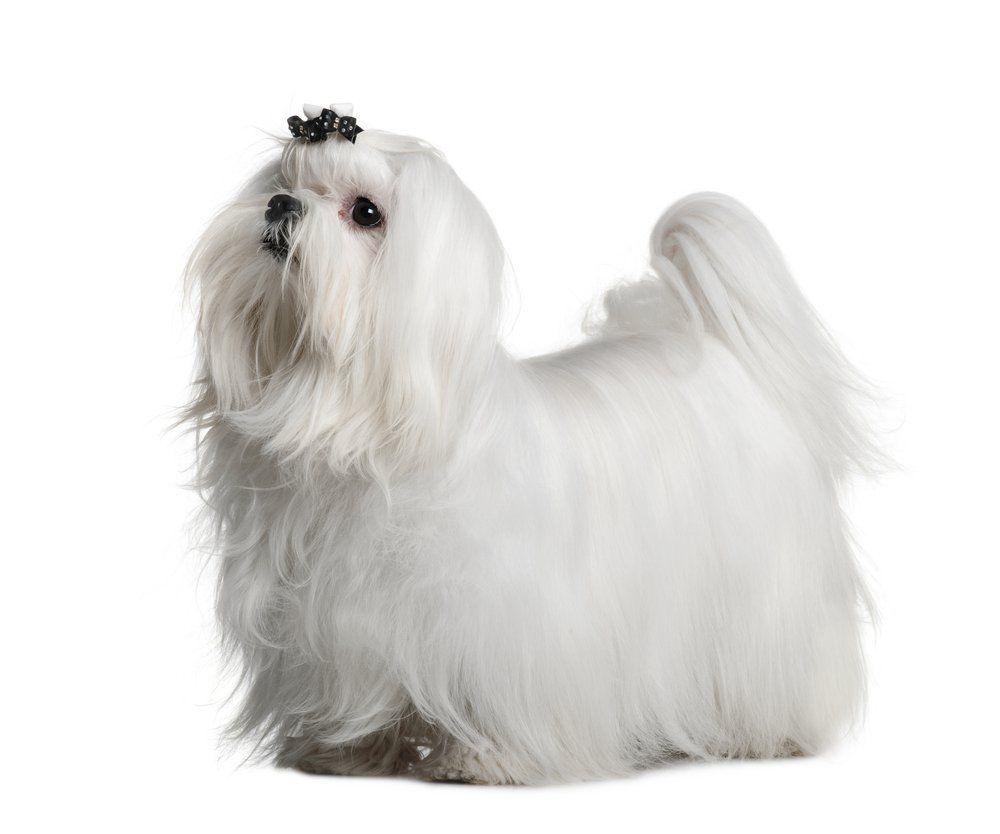 Maltese Maltese Dog Breed Maltese Dogs Dog Breeds