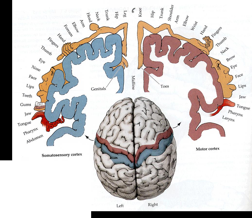 Map Of The Brain Homunculus Brain Brain Anatomy Somatosensory Cortex