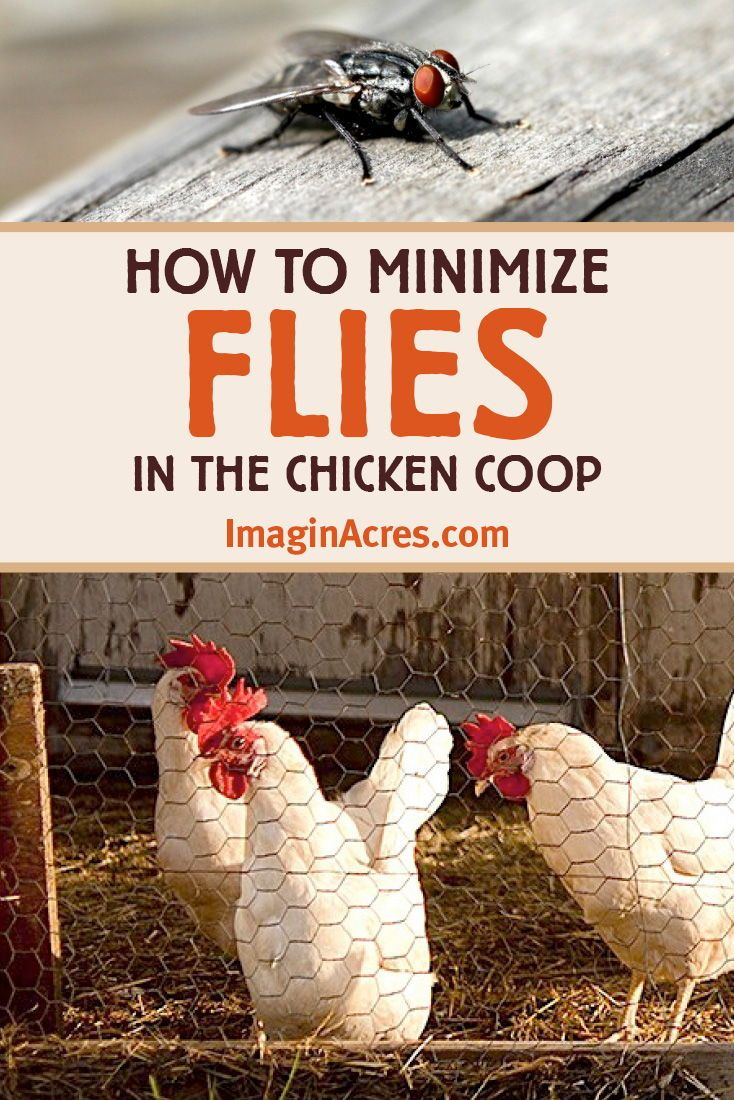 Fly Control in the Chicken Coop | Chickens backyard ...