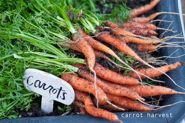 DIY GARDEN. how to grow carrots in your backyard. this is so fun for the kids.