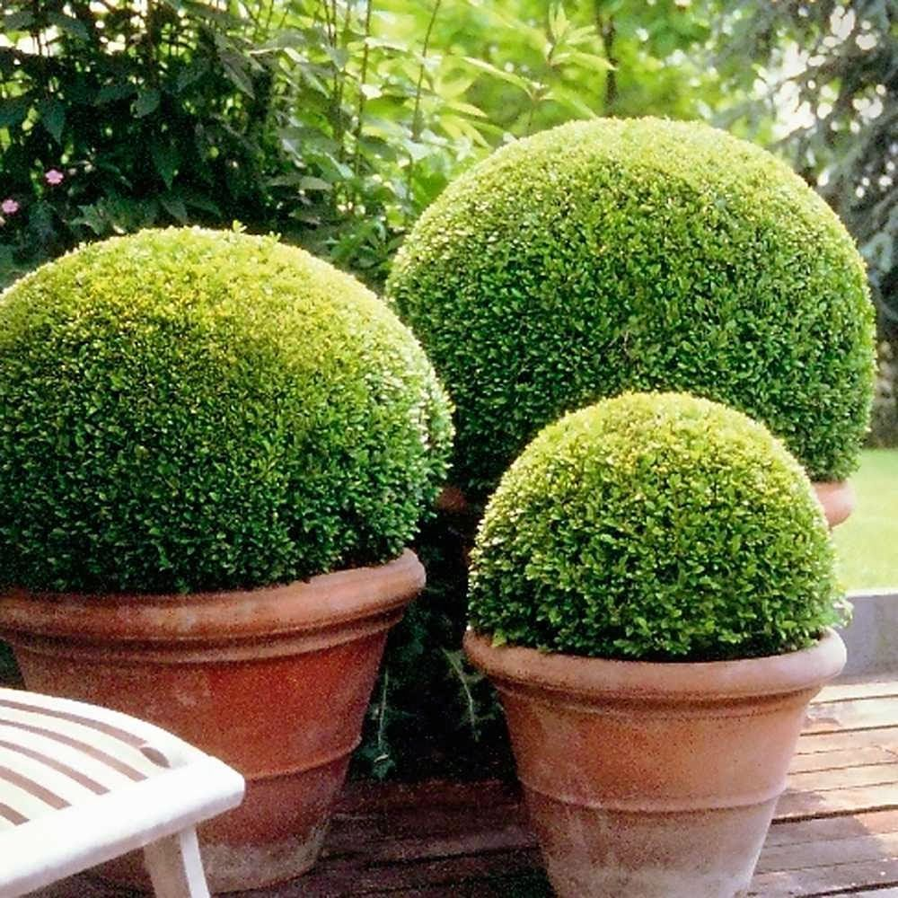 Buxus Sempervirens Box Ball 40cm Diameter Flora Select home
