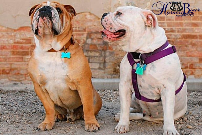 Harness Or Collar What S Better For Your Dog Rock Climbing