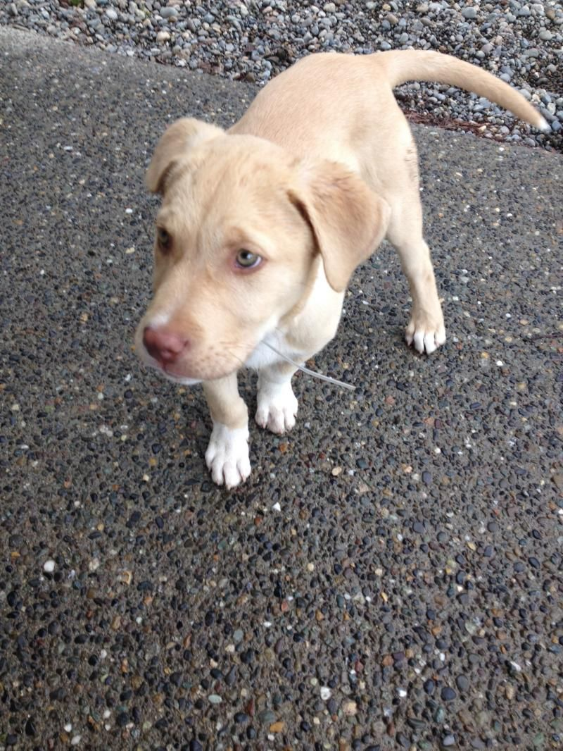 Adopt McEnroe on Border collie mix puppies, Border