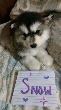 Litter Of 6 Alaskan Malamute Puppies For Sale In Flagstaff Az