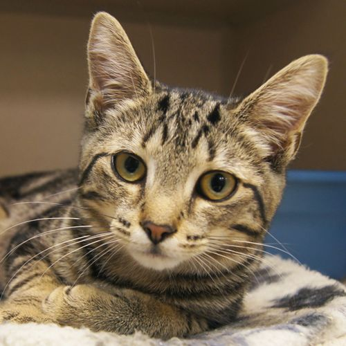 Adopted Sage Is A 3 1 2 Month Old Spayed Female Brown Tiger And White Domestic Short Hair Kitten Sage Is A Gentle Little Girl Kitten Care Cats Tabby Kitten