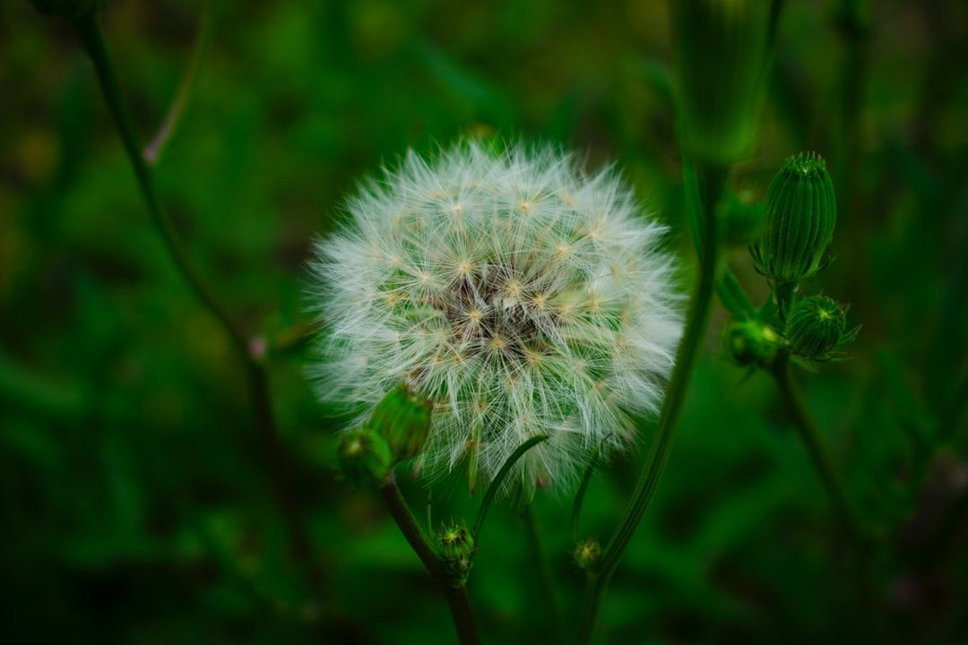 White Dandelion Plant Dandelion Plant White Dandelion Long Distance Relationship Gifts