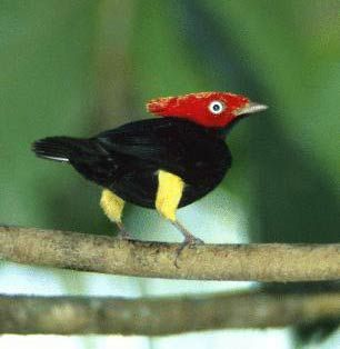 The Round-tailed Manakin (Pipra chloromeros) is a species of bird in the Pipridae family. It is found in Bolivia, Brazil, and Peru.