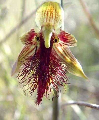 the Red Beard Orchid or Red Beardie (Calochilus paludosus) is a small Australian orchid found. Not a particularly common species, but it may be seen in swampy heathland, as well as dry ridges in mountain country. Flowering occurs in early spring. The specific epithet paludosus refers to marshy ground. However, this plant also is seen in well drained soils