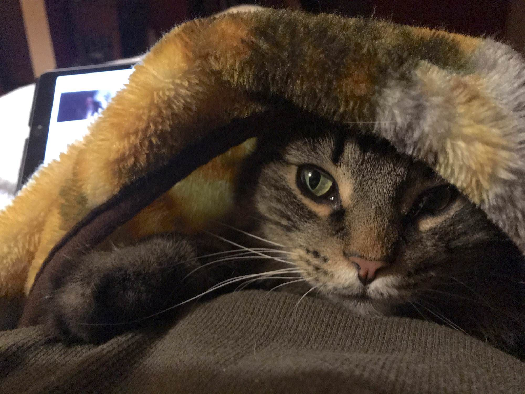 Orion M Loves Blanket Season Cat Pictures For Kids Beautiful Cats Pictures Tabby Cat