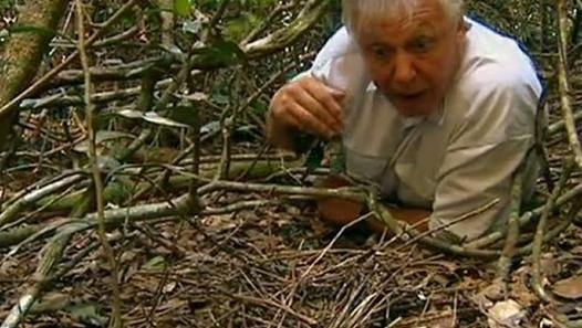 ▷ Bowerbirds The Art Of Seduction by David Attenborough