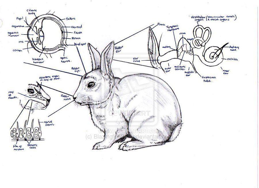 Rabbit Eye Diagram Google Search Vet Stuff Pinterest Rabbit