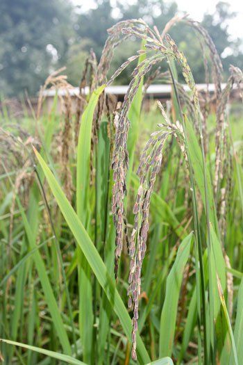 Glutinous Rice Plant With Images Rice Plant Plants Glutinous