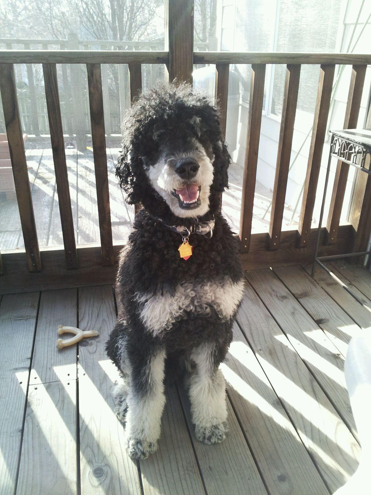 Sweet Vinnie Phantom Poodle Like Bandit Phantom Poodle