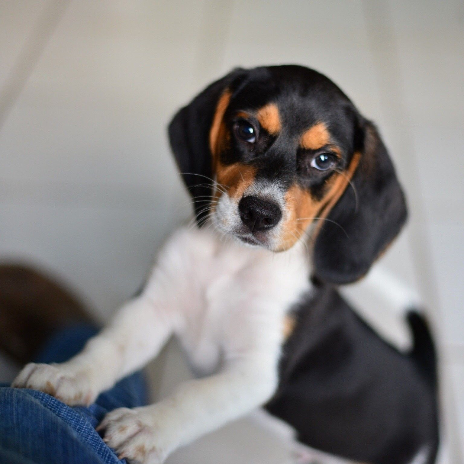 22 Photos of beagle puppies that will make your heart stop