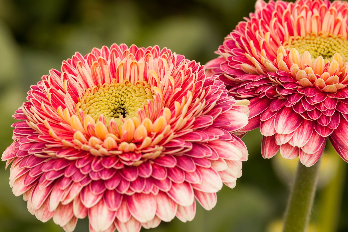 Pomponi Seth The Most Amazing Filled One That We Have Ever Seen What A Colours In One Flower This Flower Is Named Beautiful Flowers Gerbera Daisy Gerbera