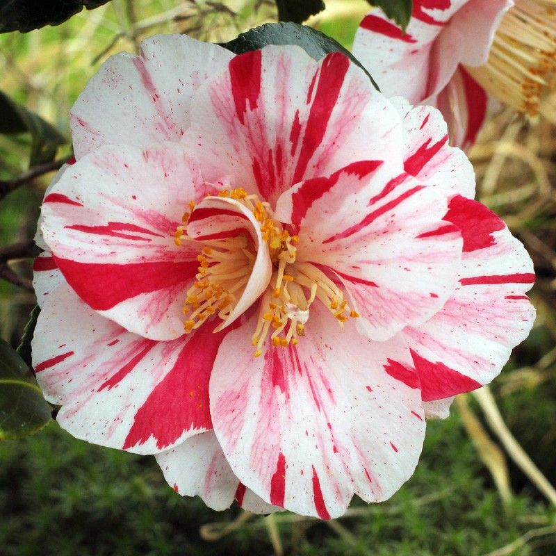Gallery C Camellia Flower Flower Photos Flowers