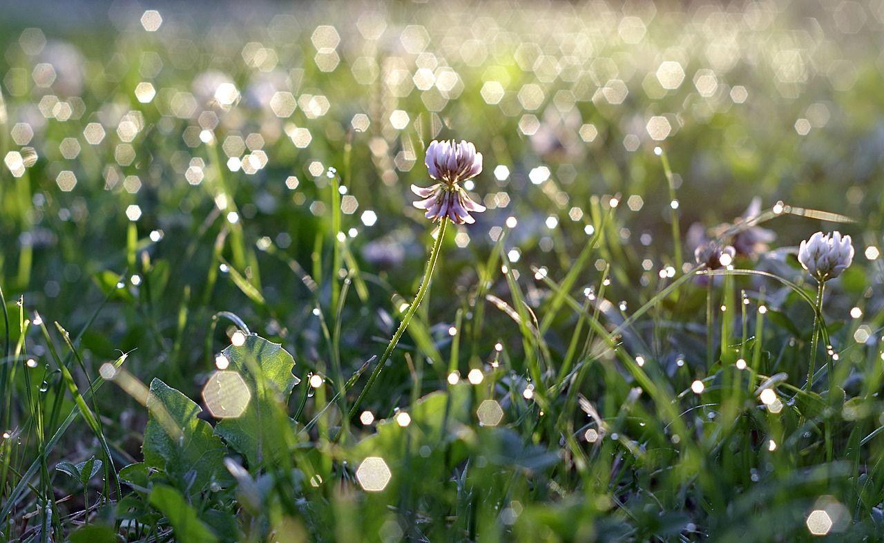Garden, Rosa, Gr, Blade, Glow, Dawn, Morning #garden, #rosa ...