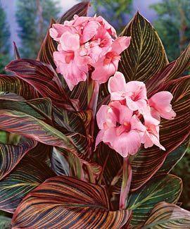 "Plant in 3.5/"" Pot Canna Tropicanna Canna Lily"