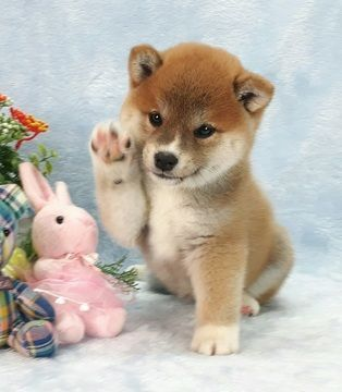 As soft as this shiba pup fluffy soft dog puppy