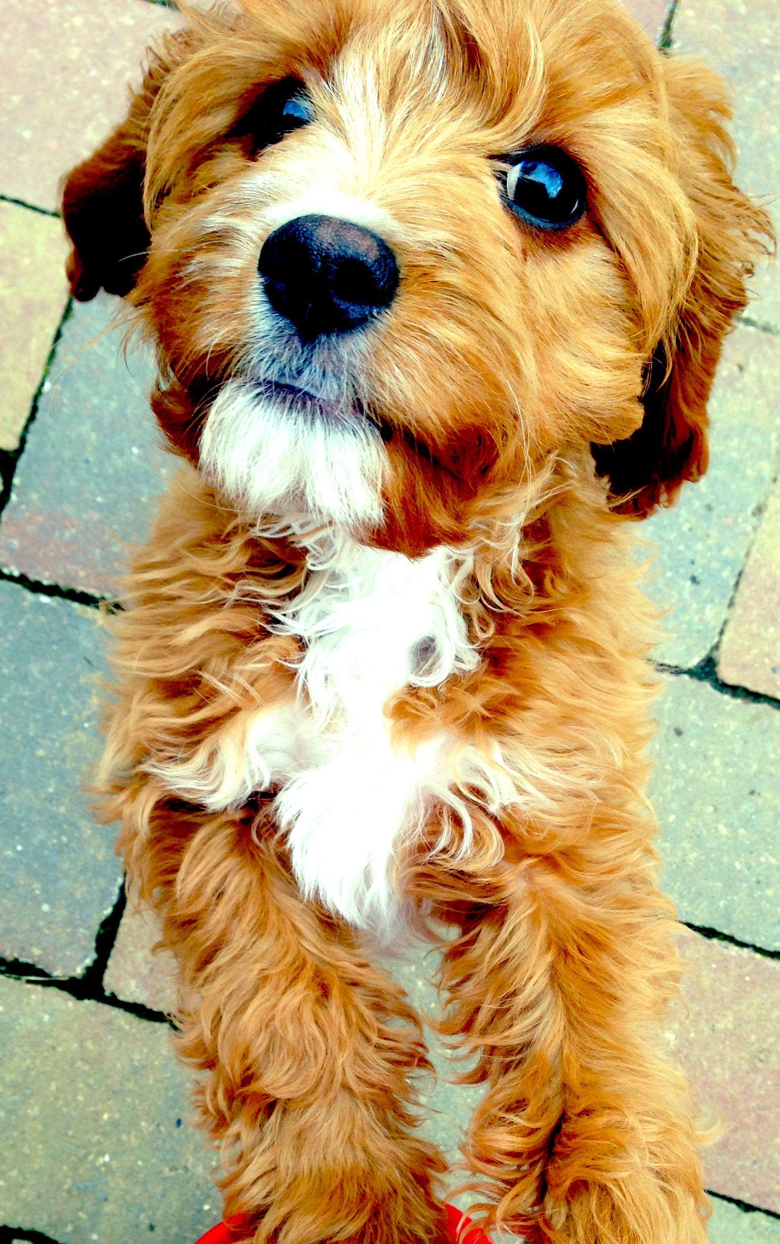 Labradoodle Goldendoodle Golden Retriever X Standard Poodle