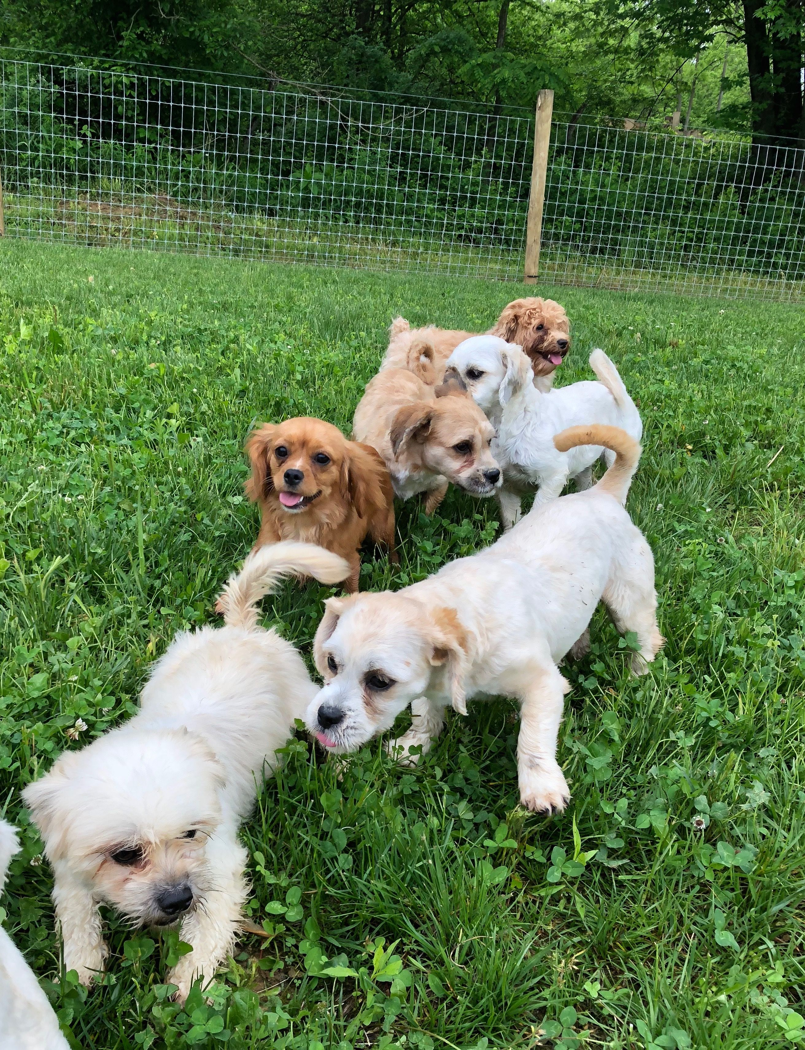 Dogs And Puppies For Sale Petland Novi Michigan Puppy Store Puppy Store Puppies For Sale Puppies