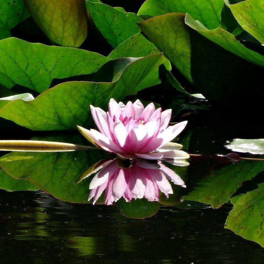 Beautiful lotus flower japan flower lotus reflect mirror beautiful lotus flower japan flower lotus reflect mirror nature izmirmasajfo Images