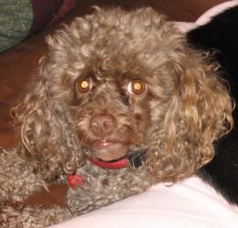 NY - Pierre is an adoptable Poodle Dog in Setauket, NY. MEET PIERRE- AVAILABLE - NO INQUIRIES WITHOUT APPLICATION (Link Below) - PLEASE READ ENTIRE AD Pierre is a small senior toy poodle, about 17 lbs...
