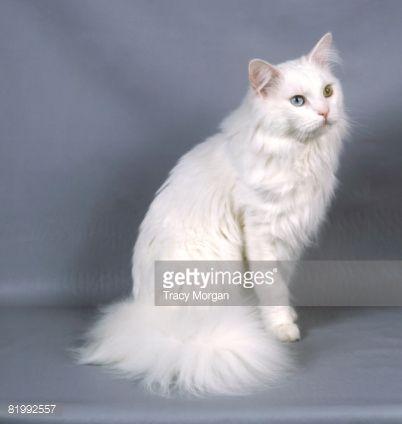 White Fluffy Cat With One Blue Eye One Green Eye Google Search Fluffy Cat Cute Cats Feline