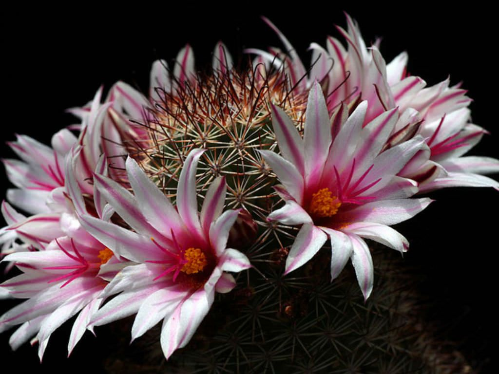 Mammillaria Fraileana See More At Httpworldofsucculents