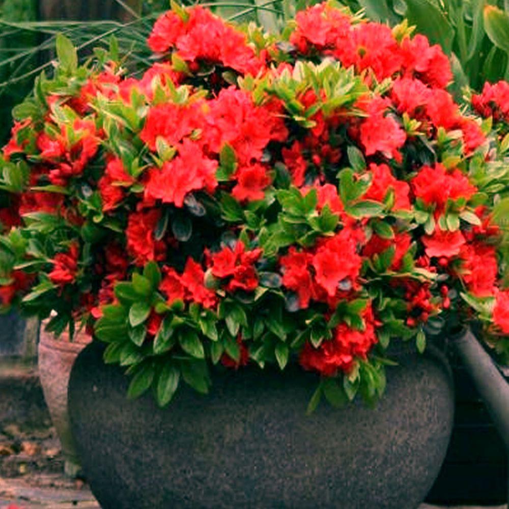 1 X Red Azalea Japanese Evergreen Shrub Hardy Garden Plant In Pot 5060584311836 Ebay Evergreen Potted Plants Evergreen Shrubs Garden Plants