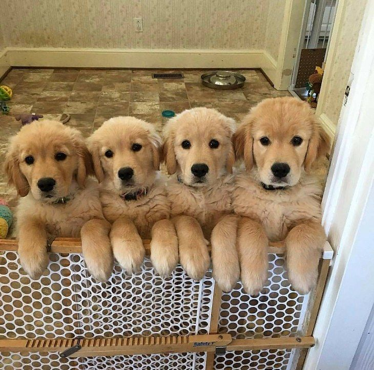 The Cutest Golden Retriever Puppies Ever | Cute overload ...