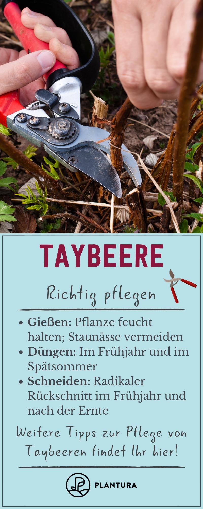 Taybeere: Alles zu Sorten, Pflanzung & Pflege der besonderen Beere - Plantura #orchideenschneiden