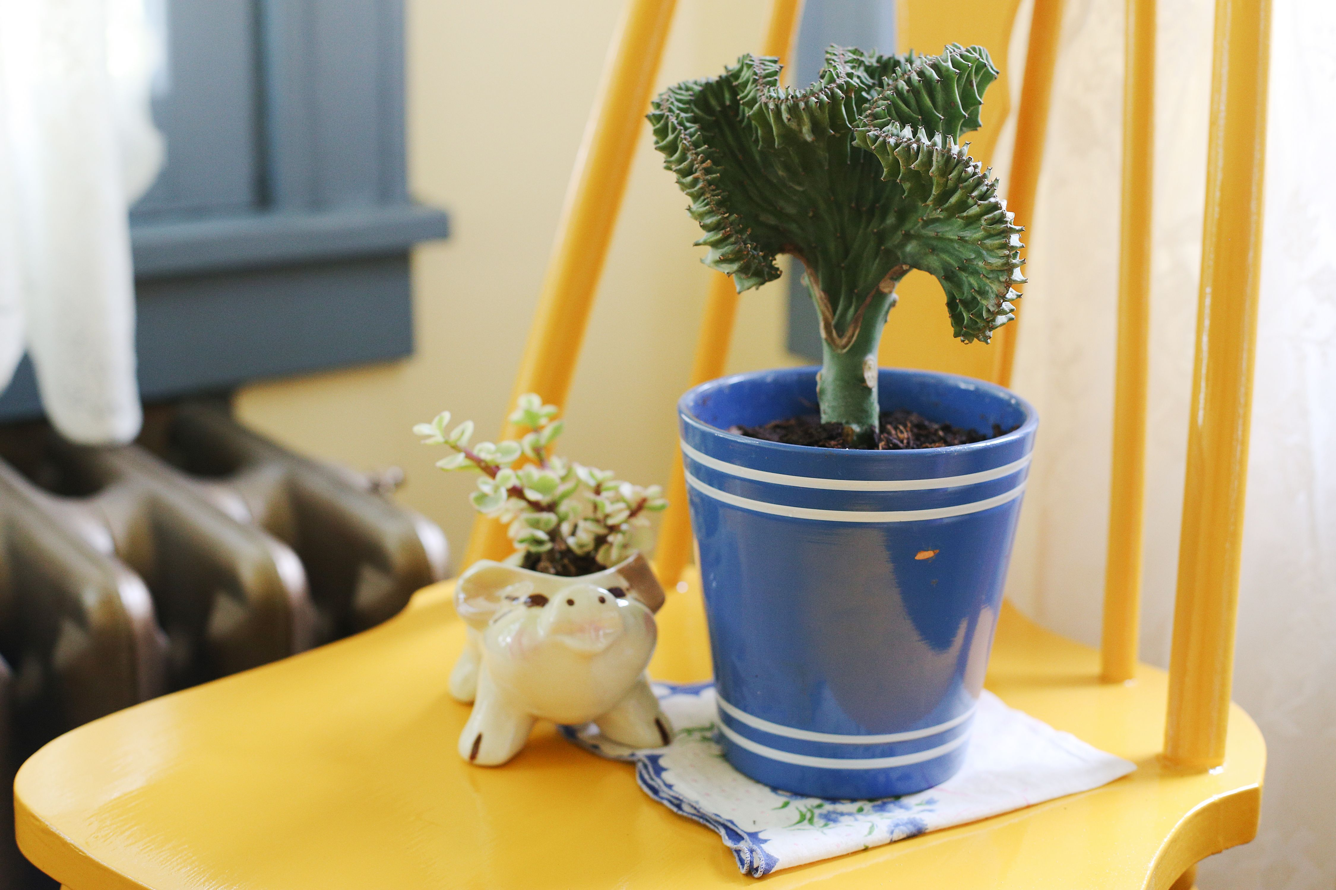 How to Care for a Coral Cactus | Hunker
