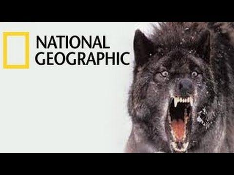National geographic - Black Wolf's Secret Life - BBC wildlife animal documentary - YouTube