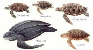 Distintas Especies De Tortugas Marinas Especies De Tortugas