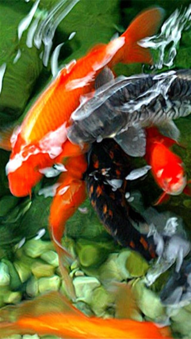 Koi Wallpaper For Iphone Wallpapersafari Koi Wallpaper Koi Fish Koi