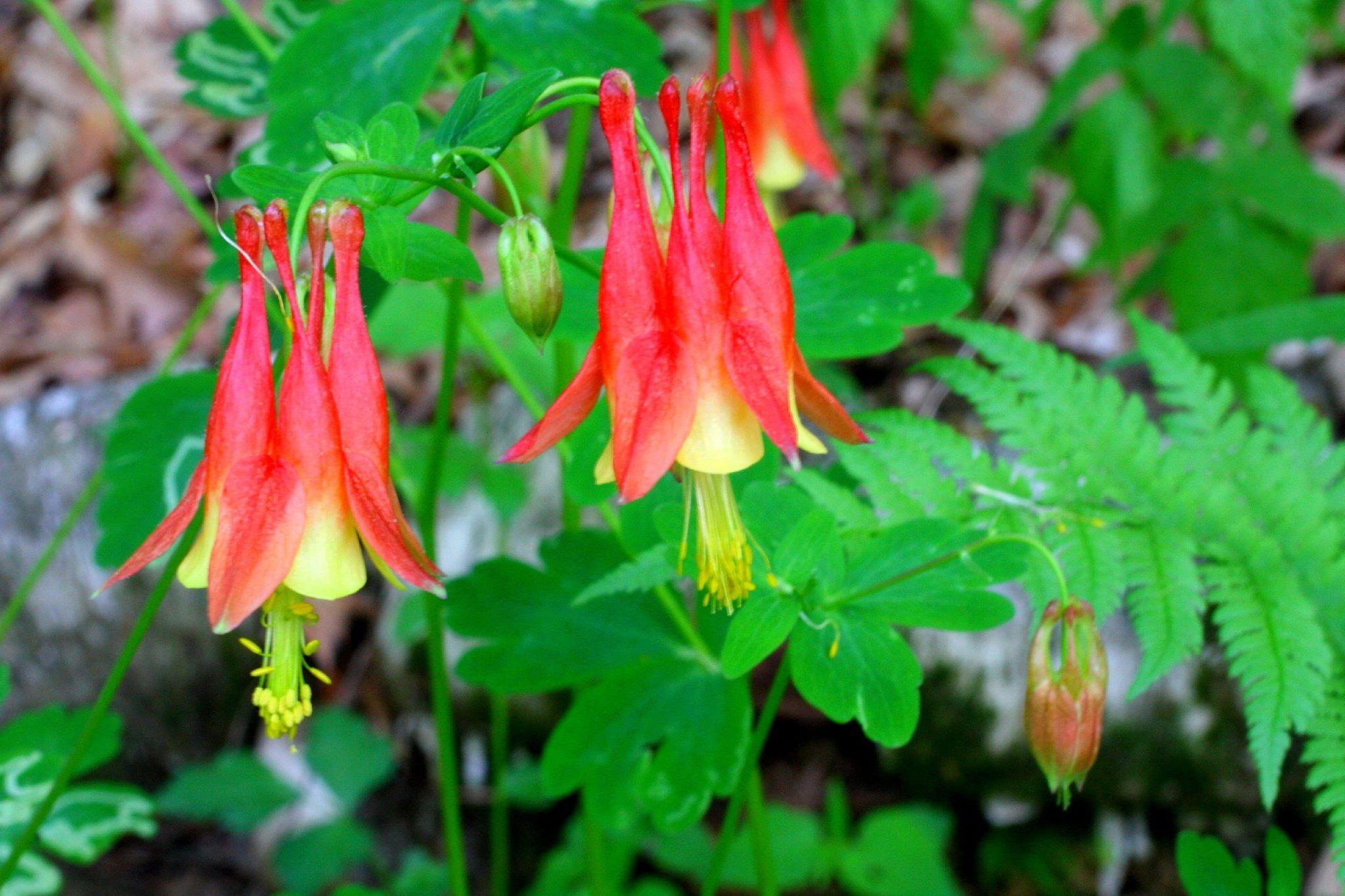 Aquilegia canadensis es una especie de planta silvestre perteneciente a la familia Ranunculaceae