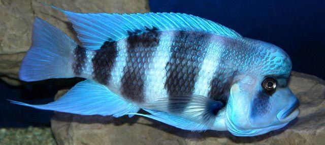 Cyphotilapia Frontosa Blue Zaire Moba African Cichlids Cichlids Freshwater Fish