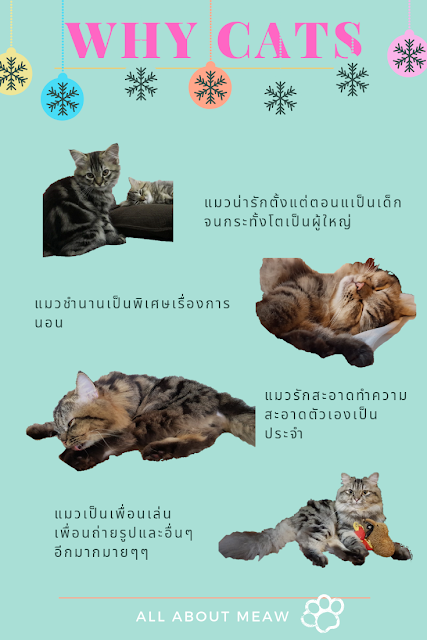 All About Maew Why Cat ทำไมต องเป นแมวเหม ยวด วยนะ Why C