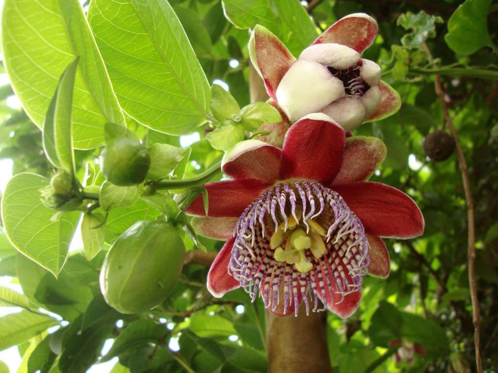 Passiflora Alata Winged Stem Passion Flower Passiflora Plantopedia Floweringplant Flowers Flowe Passion Flower Plant Blue Passion Flower Passion Flower